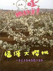 山东大樱桃树价格/福源大樱桃苗木sell/大樱桃树