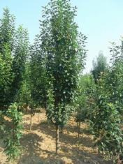 海棠树价格信息