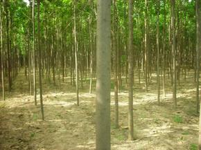 出售大规格楸树