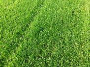 北京高尔夫草坪销售 北京果岭草坪价格 北京剪股颖草坪 球场草坪 别墅草坪