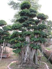 榕树盆景-气根榕