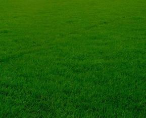 高羊茅草种,草坪种子,护坡种子,绿化草种