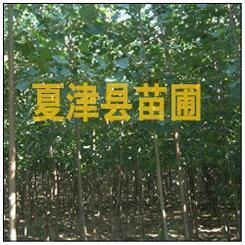出售杨树苗供应杨树苗