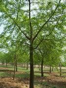 3-80cm银杏苗木