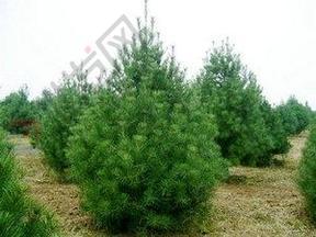 供应侧柏白皮松油松华山松侩柏雪松绿化大树