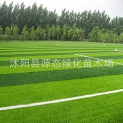 供应优质台湾草种子 台湾青种子 包出芽 耐高温 低矮型 粗放管理