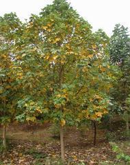 湖北马褂木价格