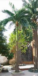 仿真槟榔树 假树 仿真植物