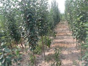 八棱海棠树种植技术
