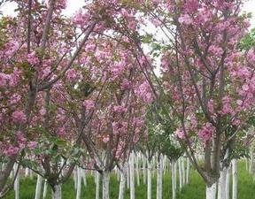 落葉灌木綠萼梅、晚櫻、臘梅、紅瑞木、梅花、紫荊、月月桂、丹桂