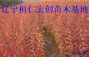 九角枫小苗