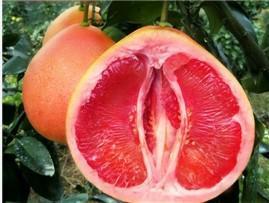 优质三红蜜柚苗由平和正达三红蜜柚苗场提供