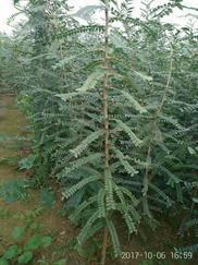 山西皂角苗皂角树