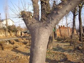 当年皂角苗 皂角苗价格3-50公分皂角树