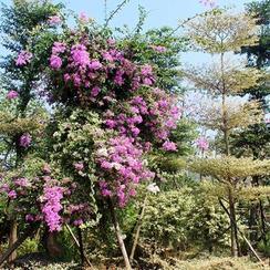 法式绝美多色勒杜鹃,三角梅,叶子花