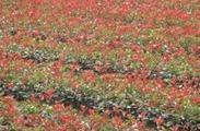 长期工供应 盆栽红叶石楠30-60公分 玉龙草 红枫