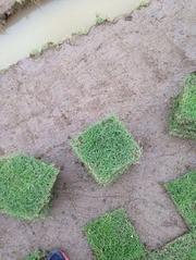 老鹰草草-夏威夷草-马尼拉草