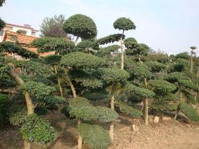 常绿灌木枸骨球、小叶女贞造型树、瓜子黄杨、八角金盘、十大功劳