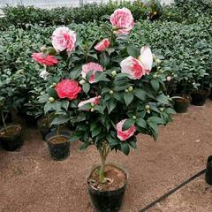 武�h庭院�G化�B�o�敉饣�卉植物�N售出租租�[|花卉苗木出售配送
