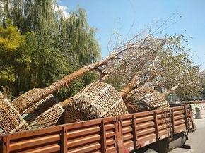 银川绿化树种