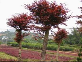 湖南浏阳绿化苗木花木红枫