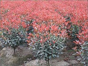 红叶石楠,红叶石楠球价格