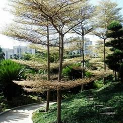 锦叶榄仁,雨伞树层托型彩叶大乔木超低价批发